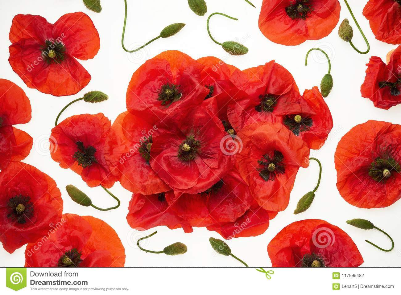 Red Poppies On White Background , Wallpaper, Background
