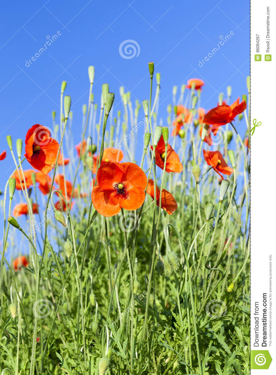 Red poppy in the field stock image image of petal nonurban 86064267 download red poppy in the field stock image image of petal nonurban 86064267 mightylinksfo