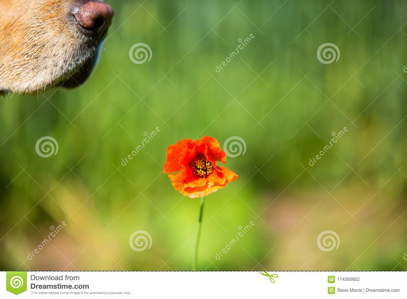 A Red Poppy In A Field Of Crops With A Dogs Nose Stock Photo