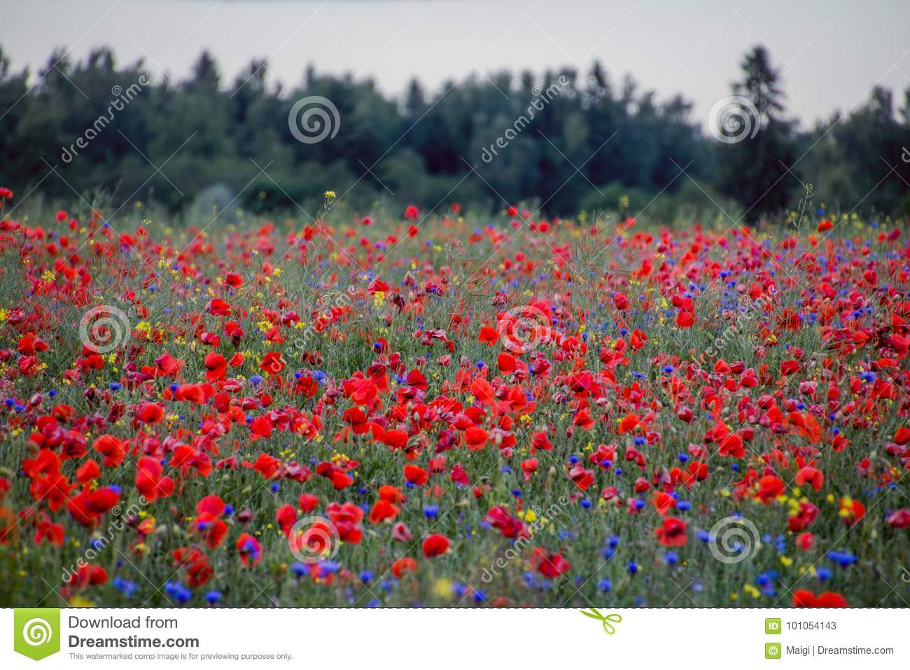 Download Red poppy field and forest stock image. Image of grass - 101054143