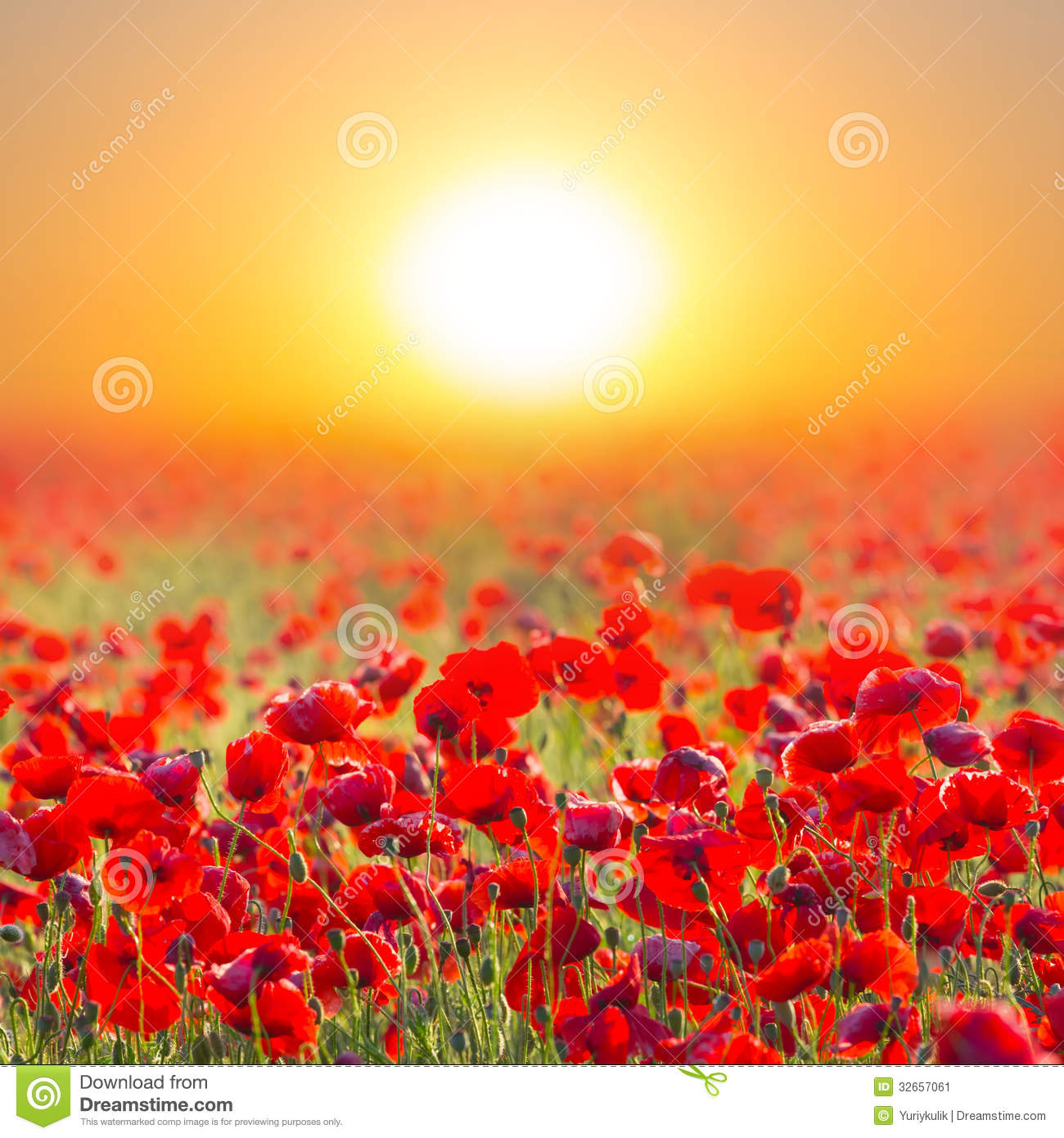 red poppy field at stock image image of boundless