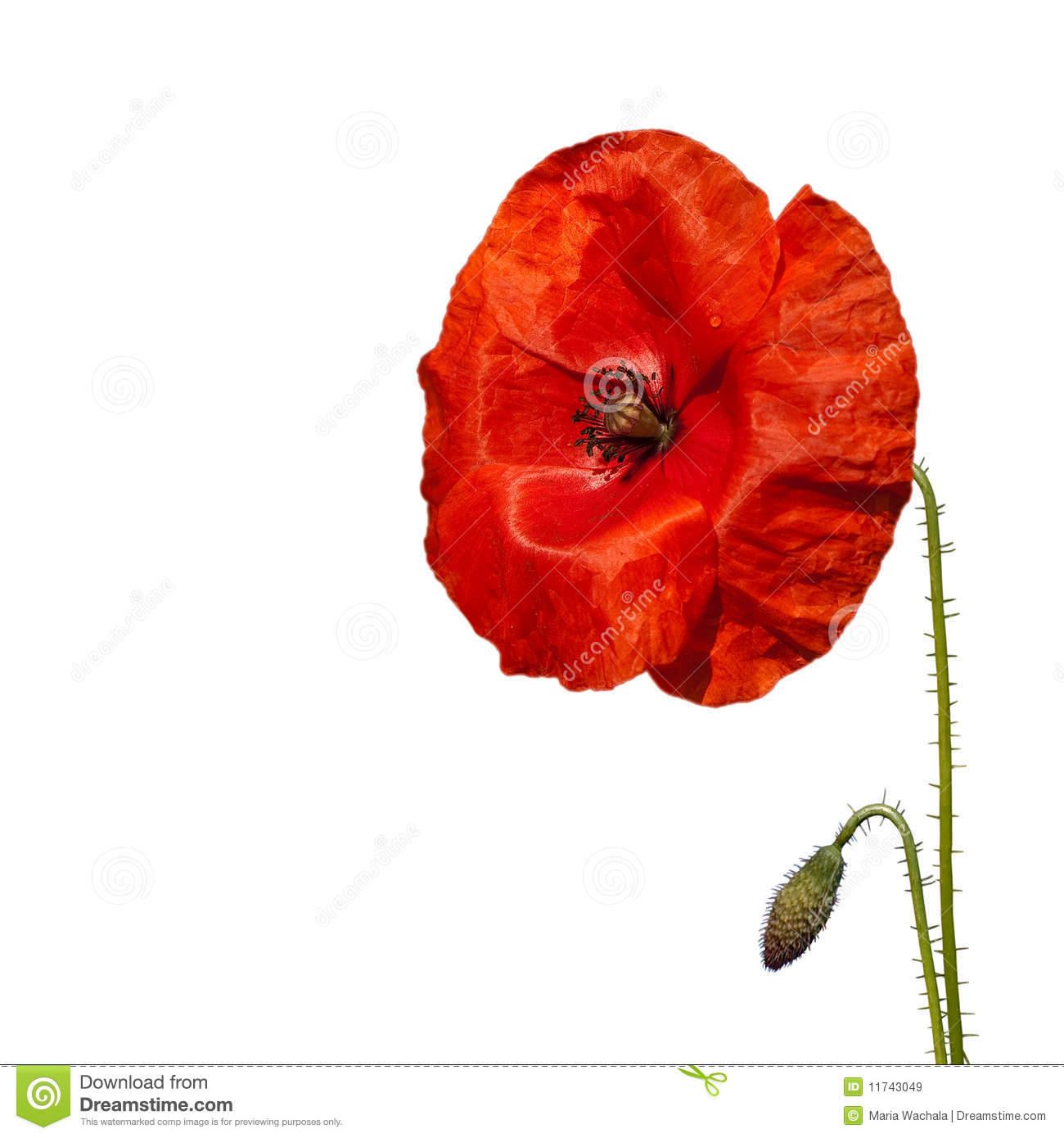 Red poppy flower stock image image of color natural 11743049 download red poppy flower stock image image of color natural 11743049 mightylinksfo