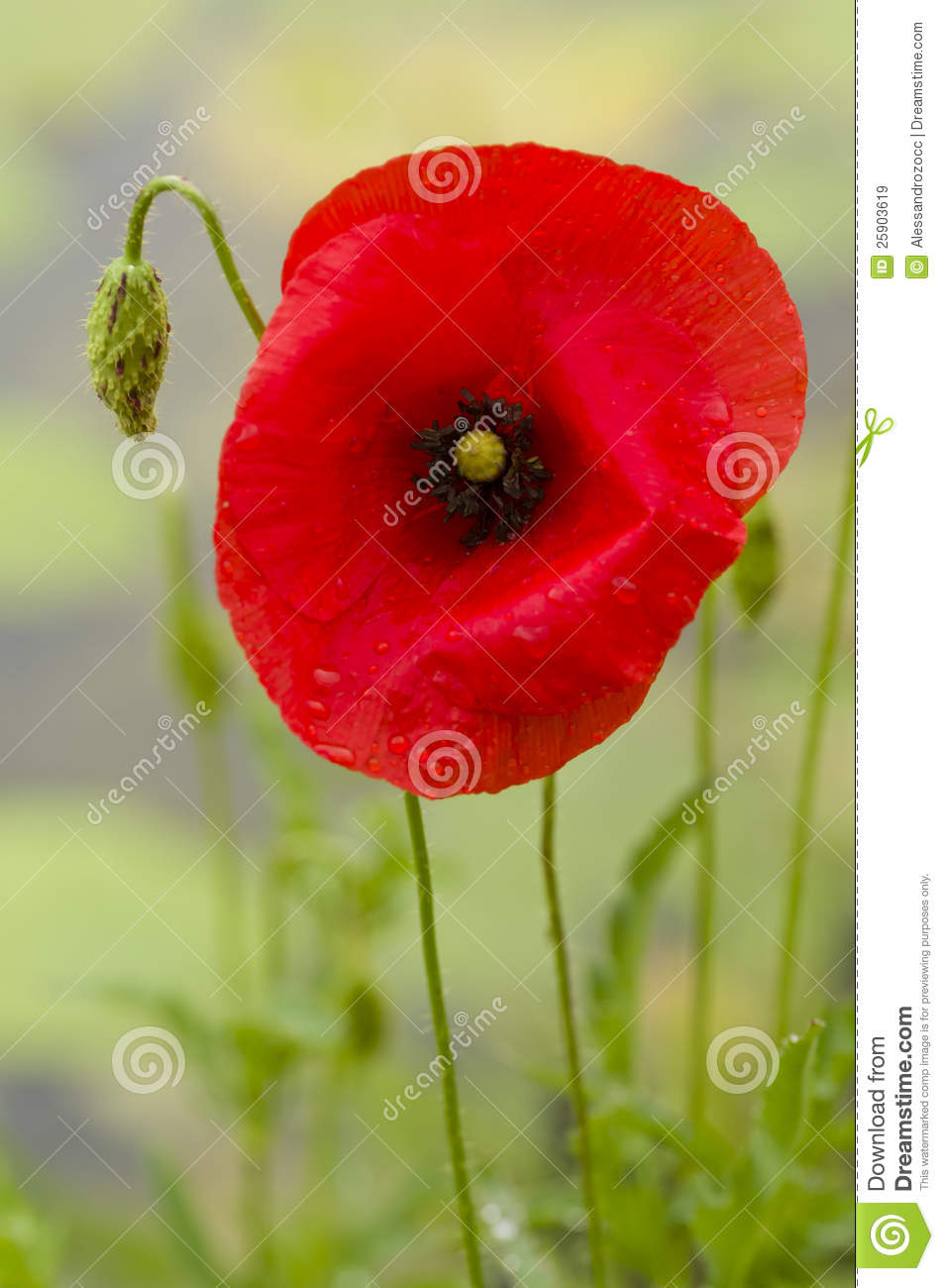 Red poppy flower stock image image of closeup flower 25903619 royalty free stock photo mightylinksfo Images