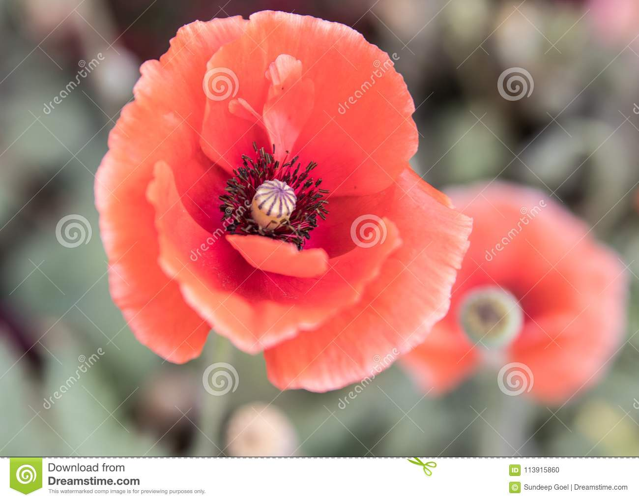 Red Poppy Flower Blossoms Stock Photo Image Of Poppies 113915860
