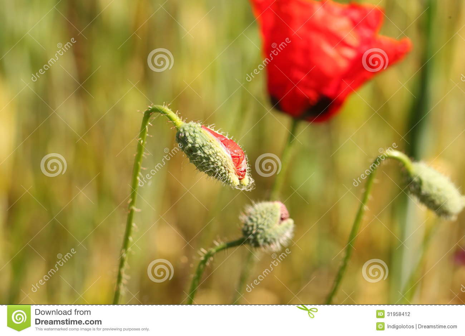 Red Poppy Flower Bud Stock Photo Image Of Garden Stem 31958412