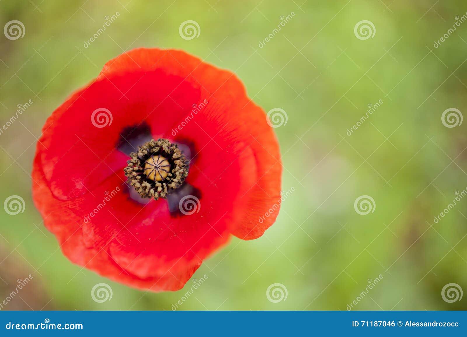 Red Poppy Flower Bud Stock Photo Image Of Flower Summer 71187046