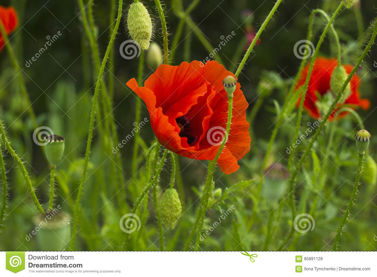 Red Poppy Flower With Bud In Green Field Stock Photo Image Of Head