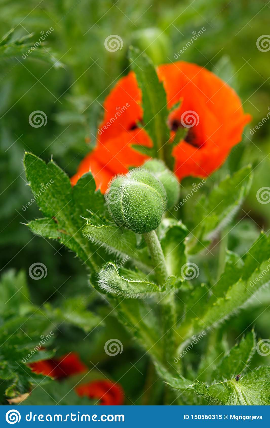 Red poppy flower bud with green leaves on the background in summer garden