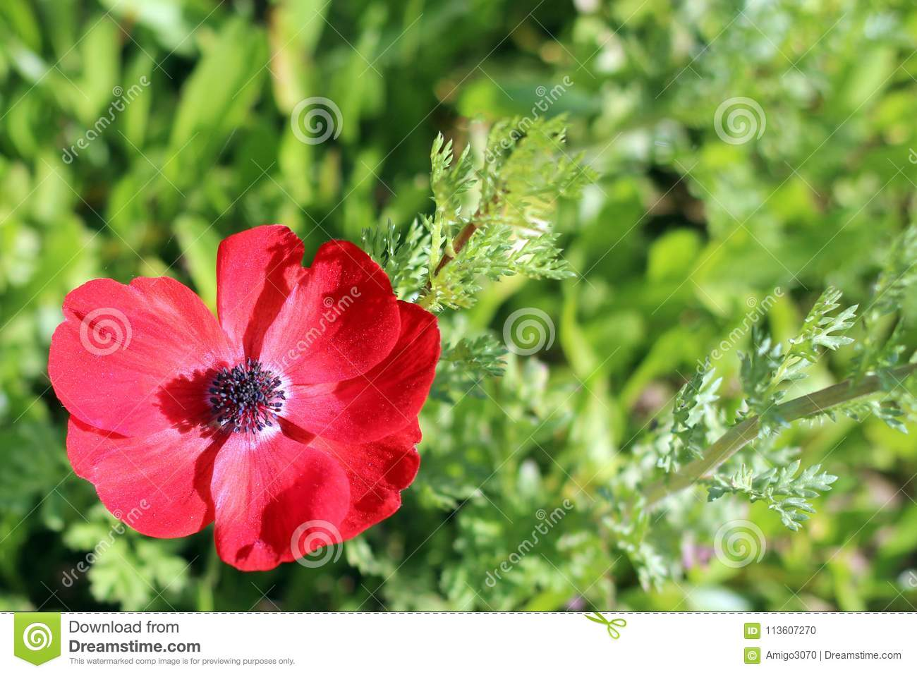 Red Poppy Flower Stock Photo Image Of Desert Cosmetic 113607270