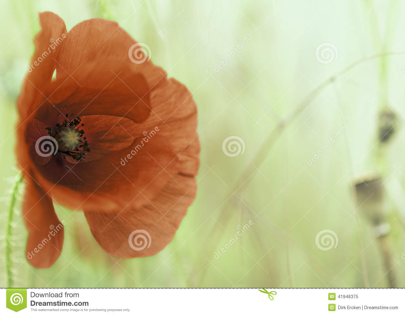 Download Red poppy flower stock image. Image of field, summer - 41946375