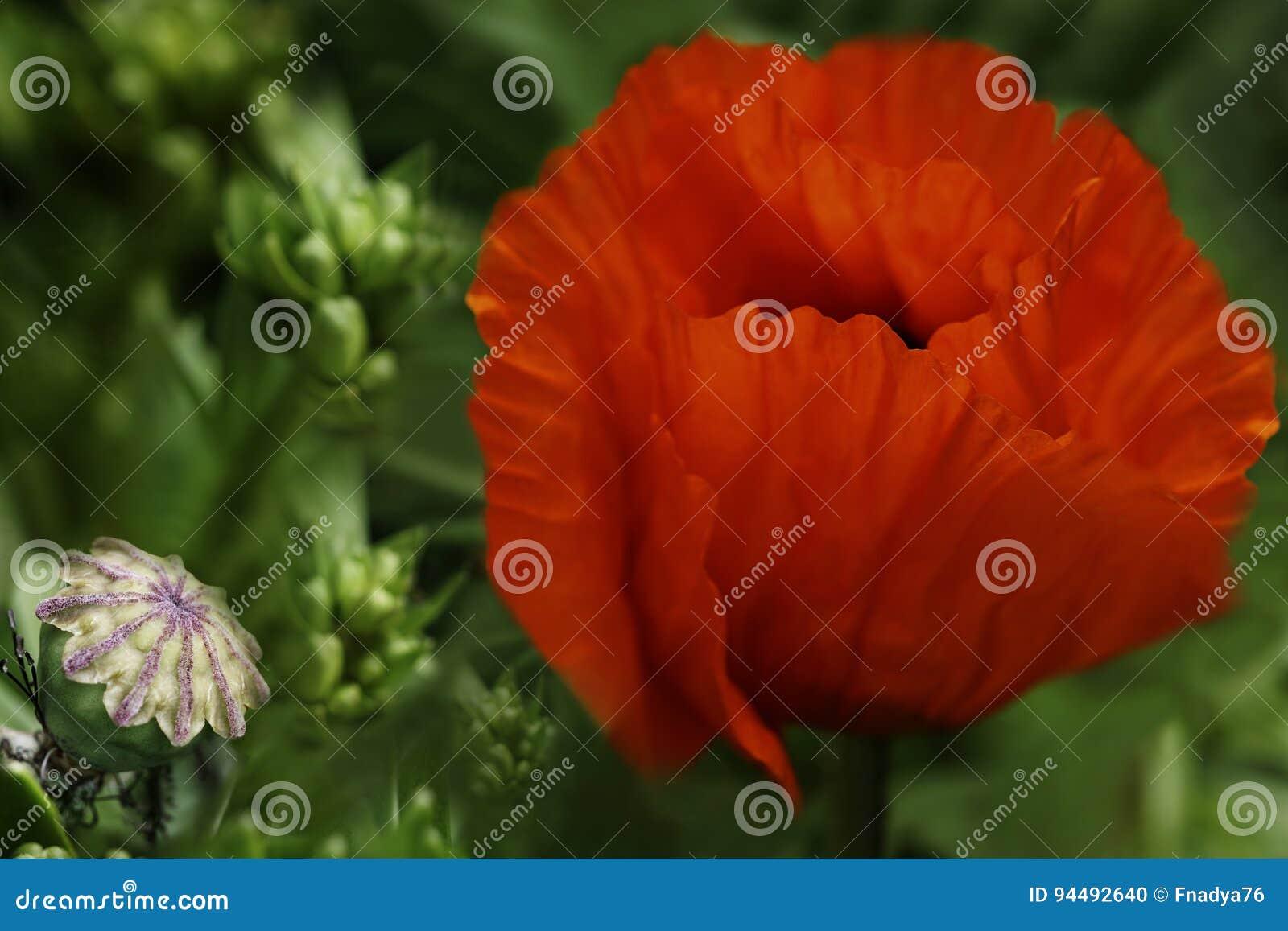 Red Poppy Flower On A Green Leaf Background A Beautiful Poppy