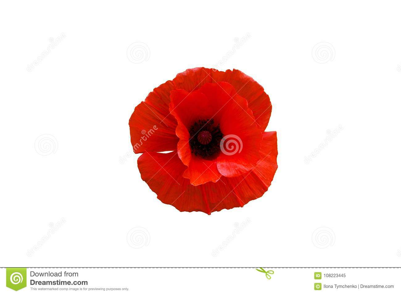 Red Poppy Flower Isolated On White Background Stock Image Image Of