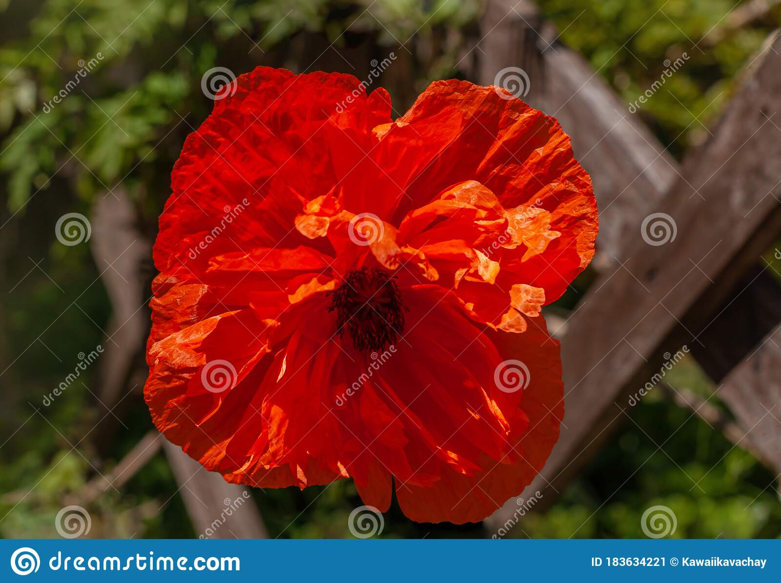 Red Poppy Flower In The Meadow Amazing Wild Poppies Wallpaper Beautiful Nature Photo Copy Space Floral Greeting Card Stock Image Image Of Background Blossom 183634221