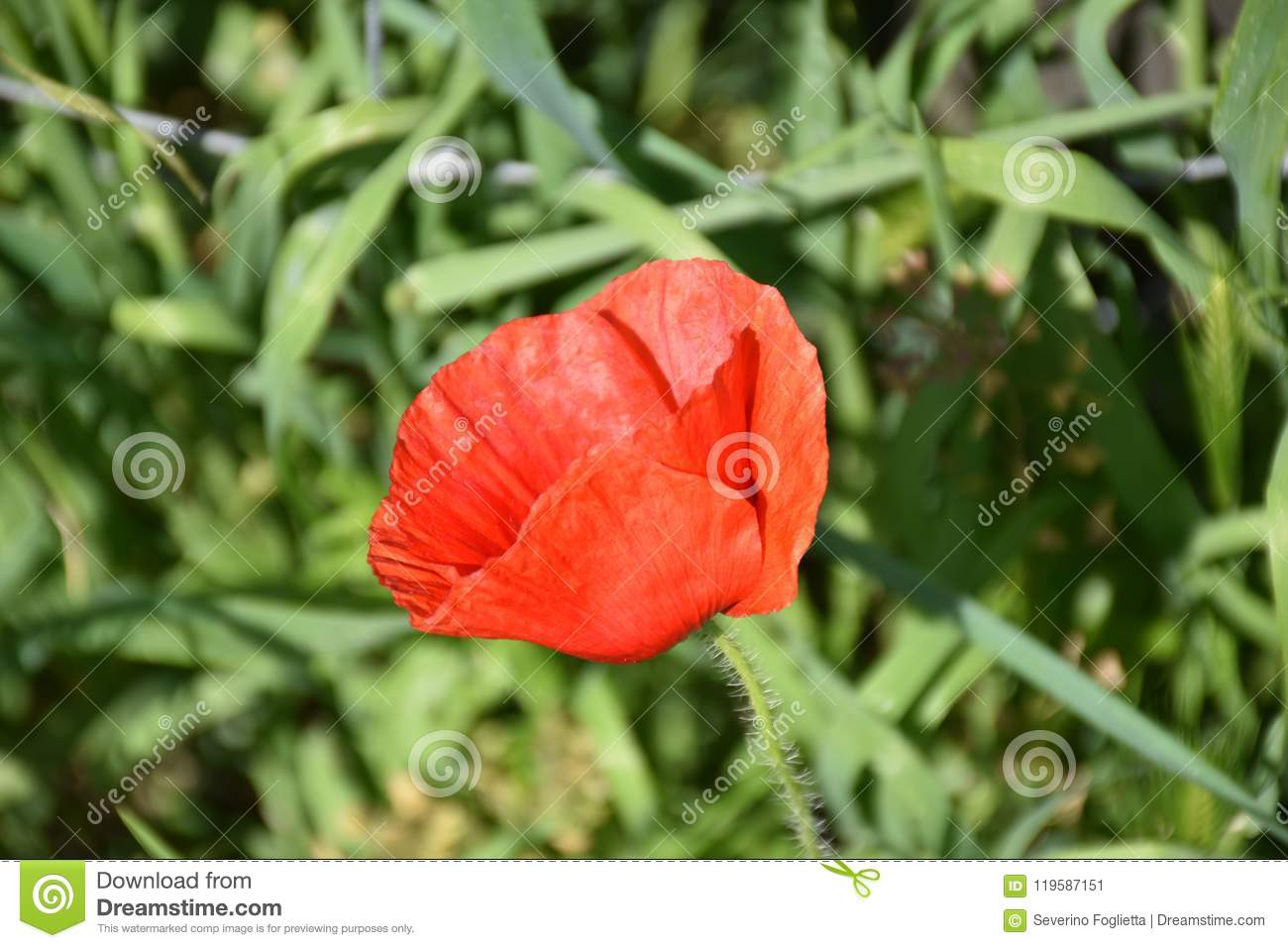 Red Poppy Flower Outdoors Color Green Stock Image Image Of Nobody
