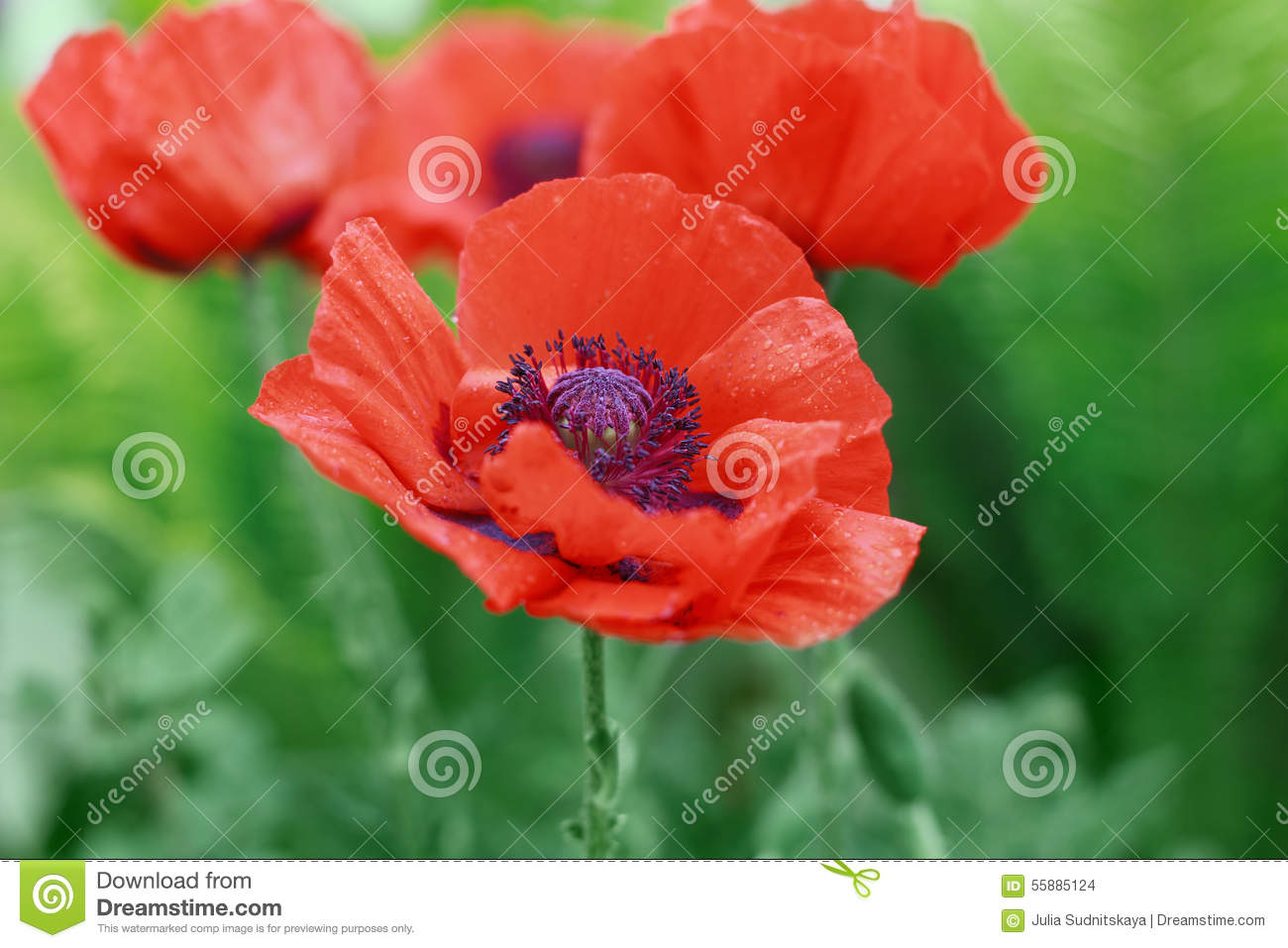 Red Poppy Flower Or Papaver On The Meadow Symbol Of Remembrance Day