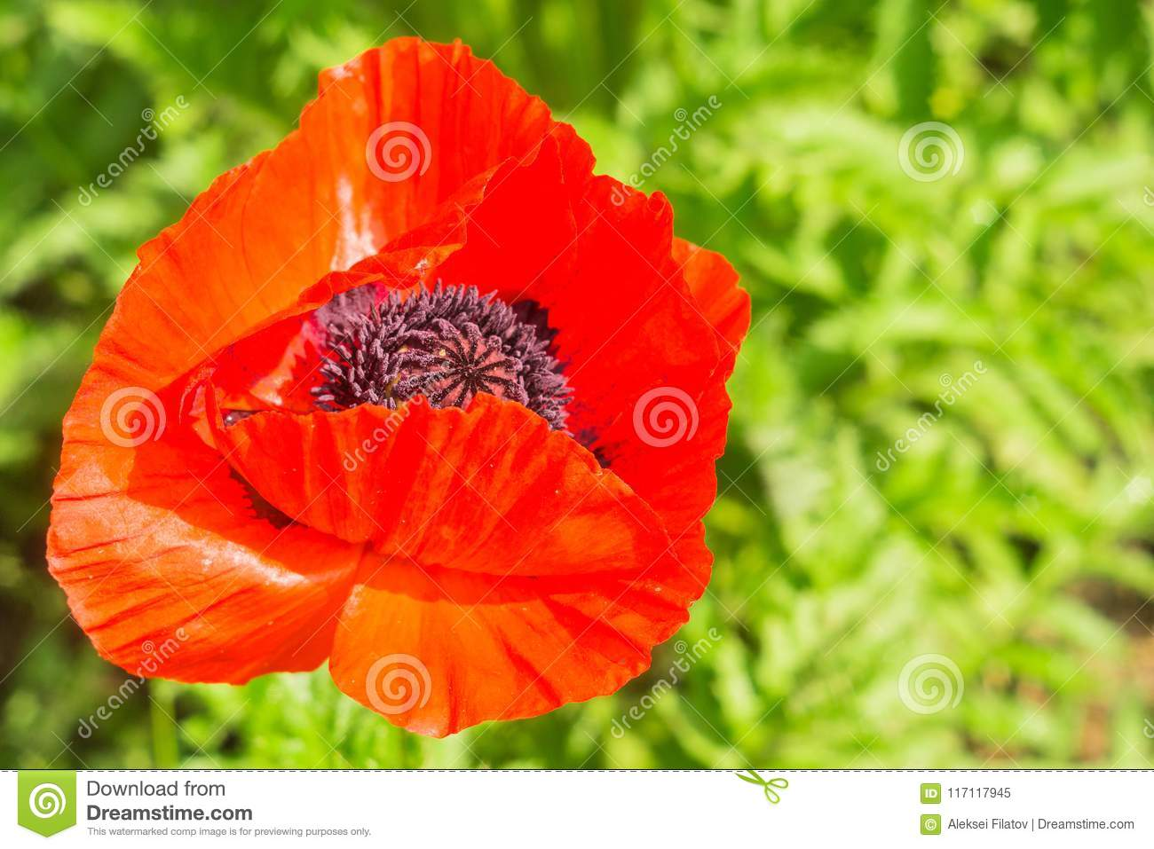Red poppy flower stock image. Image of color, environment - 117117945