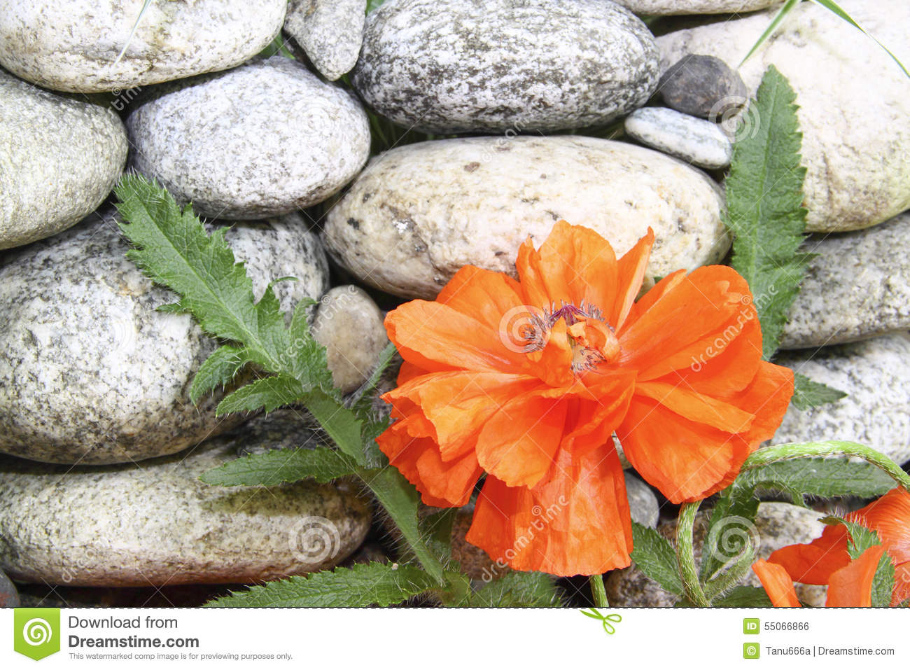 Red Poppy Flower About A Stone Wall Stock Photo Image Of Poppy