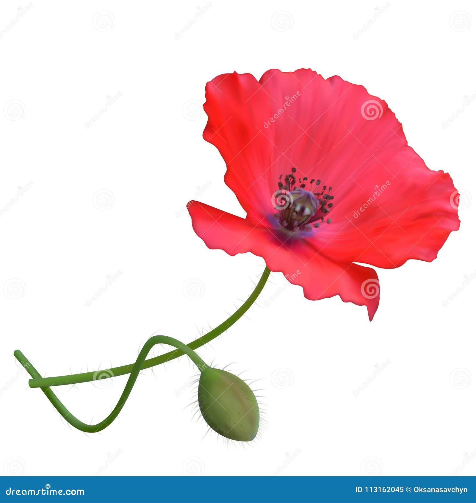 Red Poppy Flower White Background Stock Vector Illustration Of