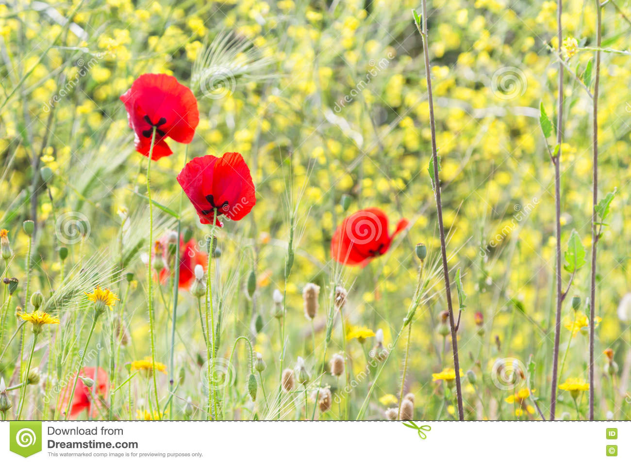 Red poppy flowers on the field symbol for remembrance day stock royalty free stock photo buycottarizona