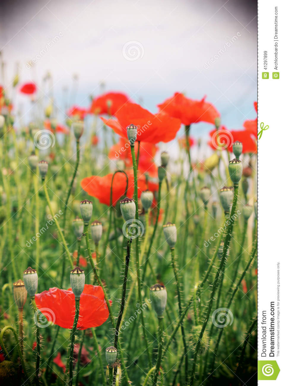 Red Poppy Flowers In A Field, Vintage Stock Photo - Image ...