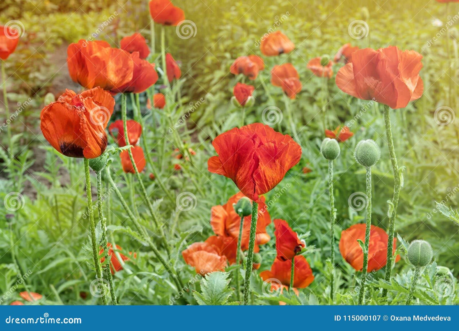 Red poppy flowers poppies in the garden poppy spring summer flower red poppy flowers poppies in the garden poppy spring summer flower mightylinksfo