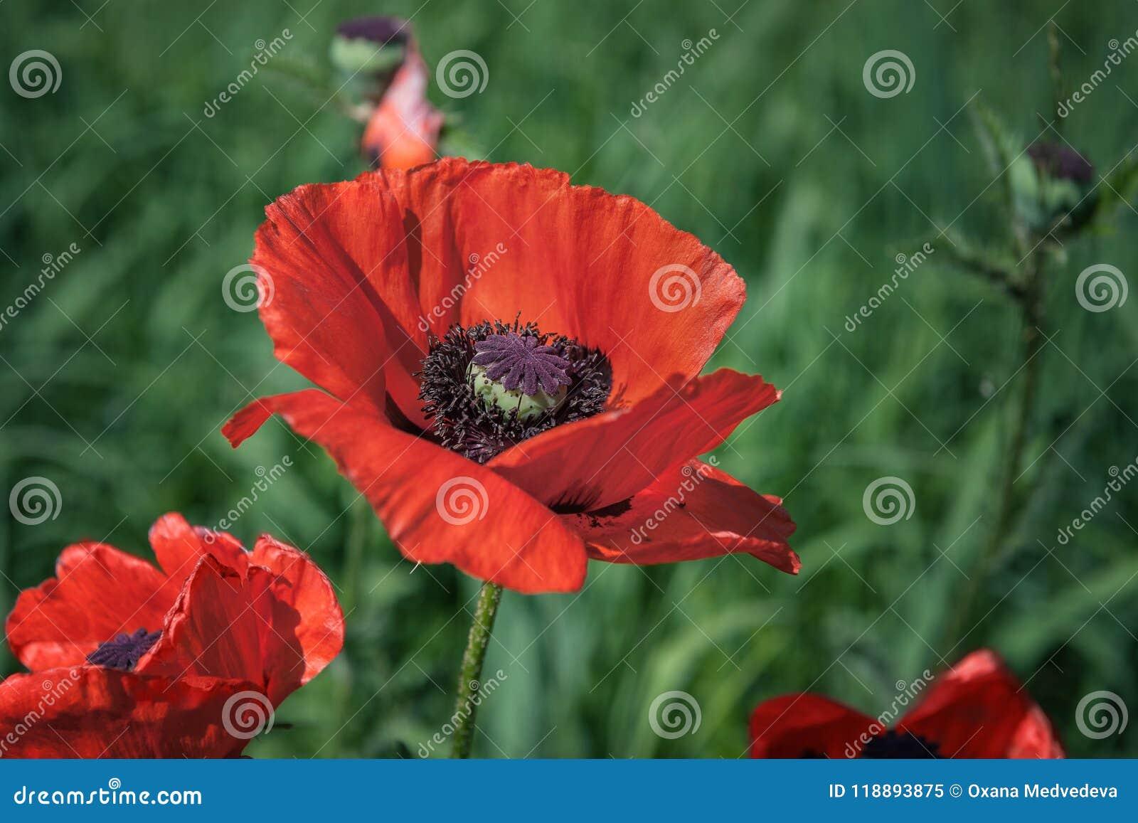 Red Poppy Flowers Poppies In The Garden Poppy Spring Summer Flower