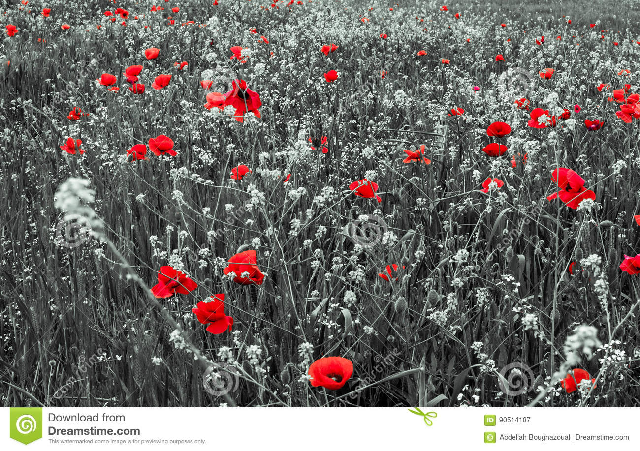Red Poppy Flowers for Remembrance Day