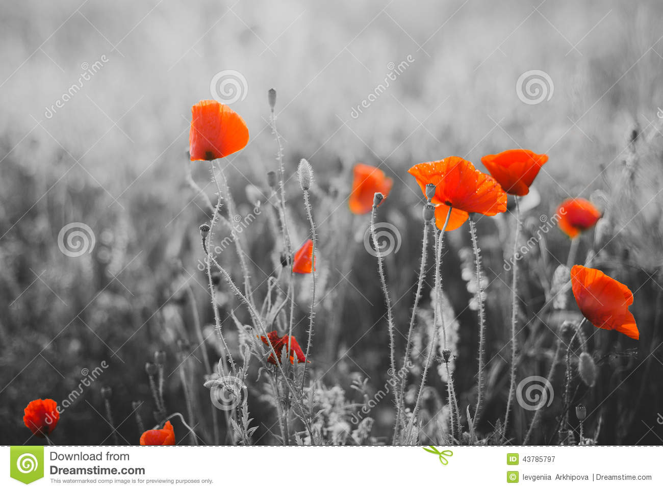 Red Poppy Flowers For Remembrance Day Stock Image Image Of Field