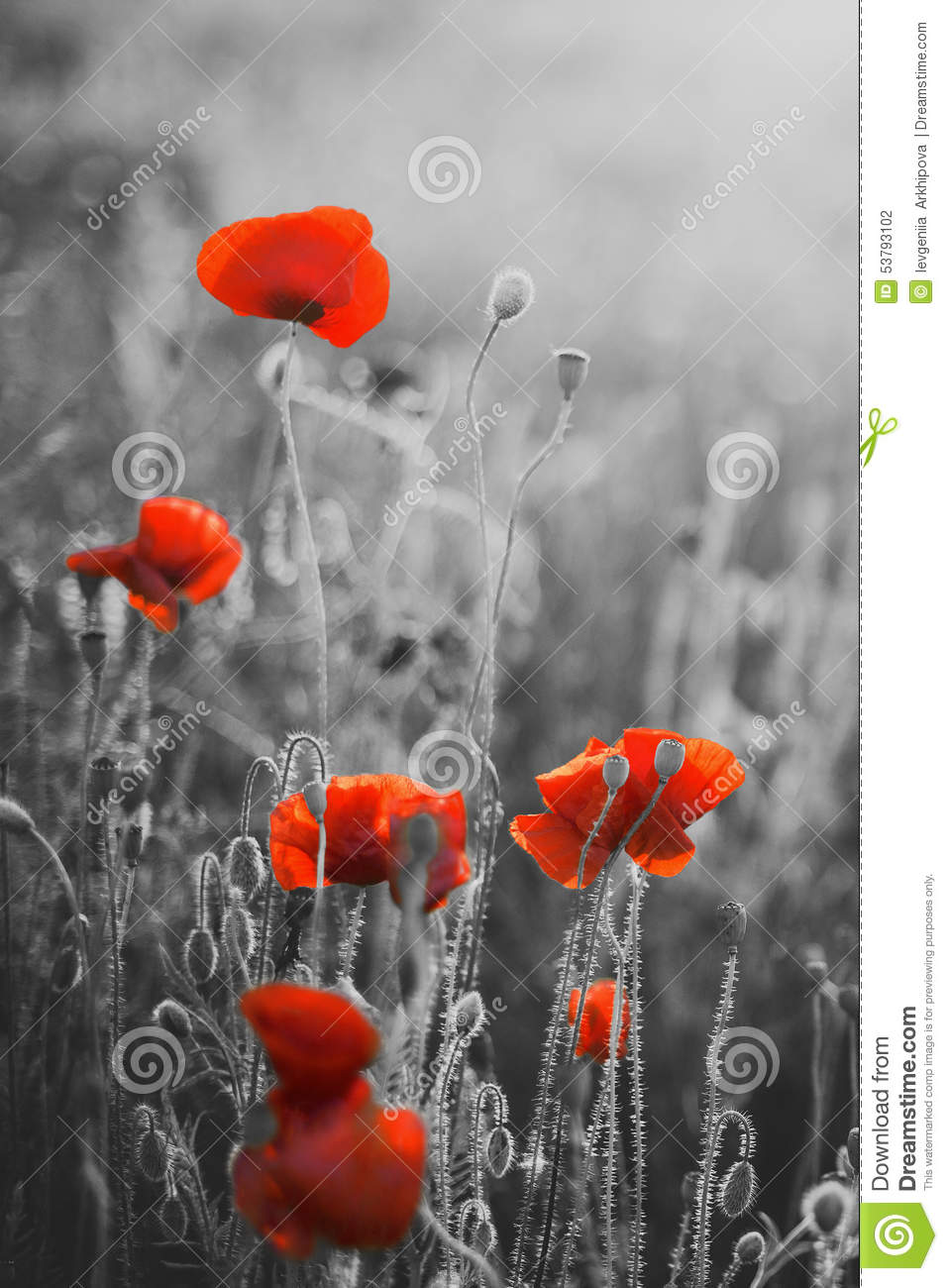 Red Poppy Flowers Remembrance Day Sunday Stock Photo Image Of