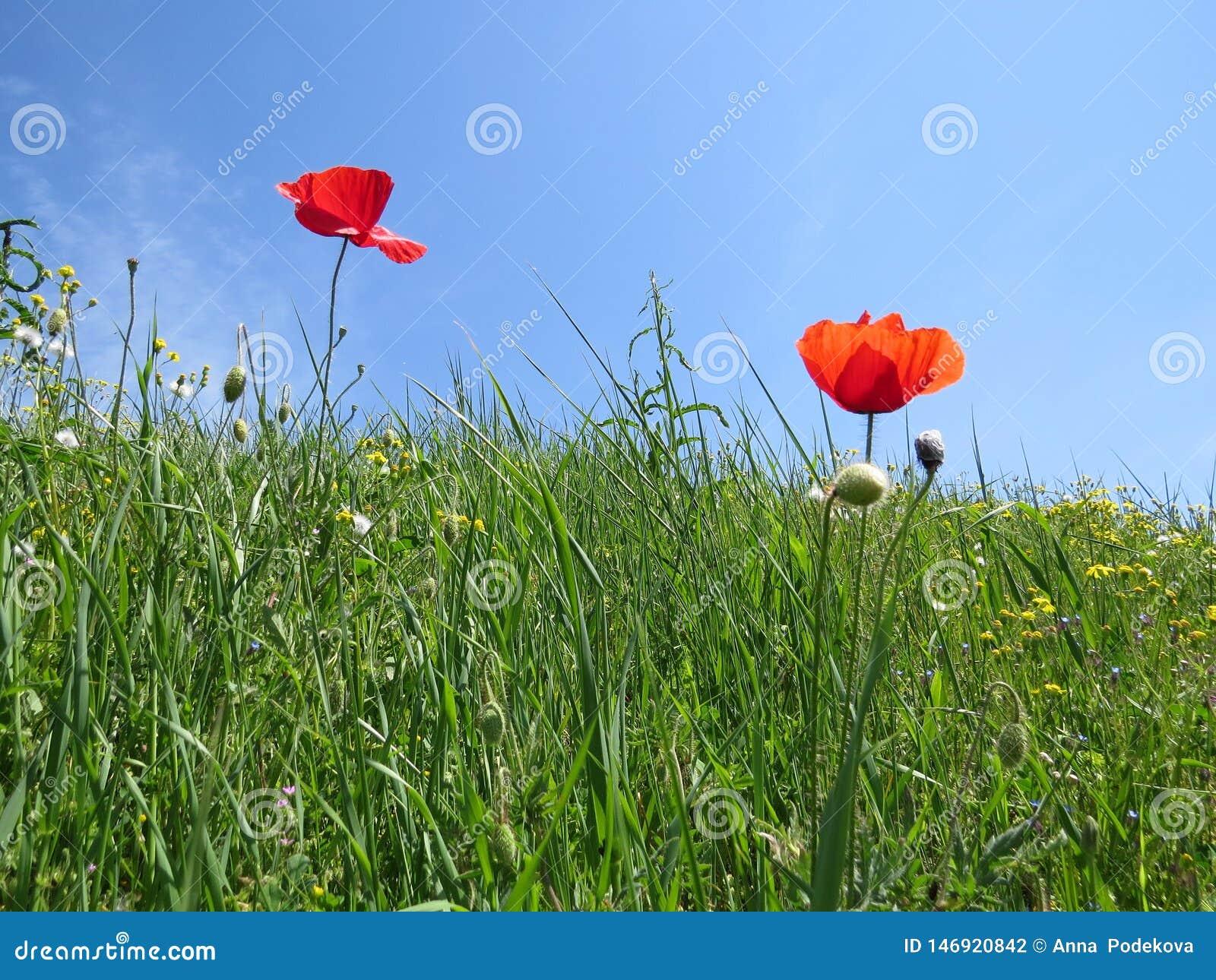 Red poppy flowers in spring meadow