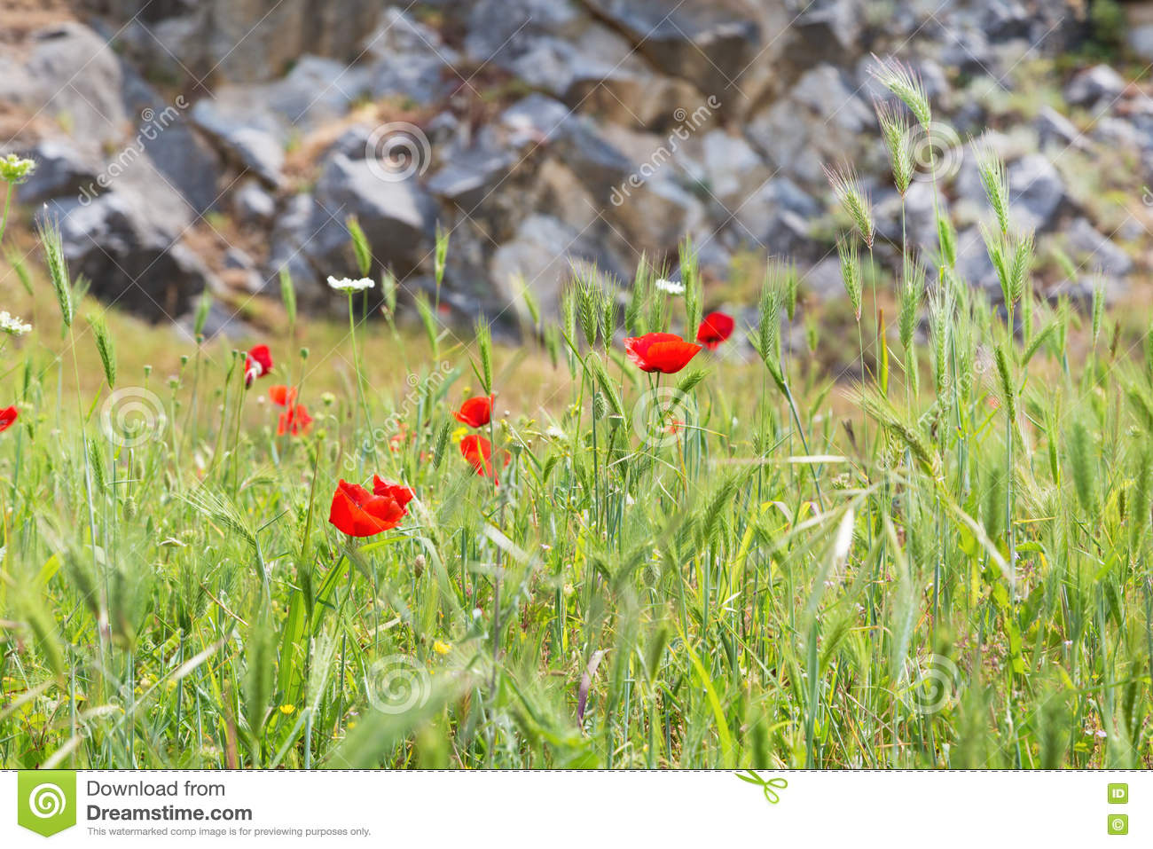 Red poppy flowers and stone wall symbol for remembrance day stock royalty free stock photo buycottarizona
