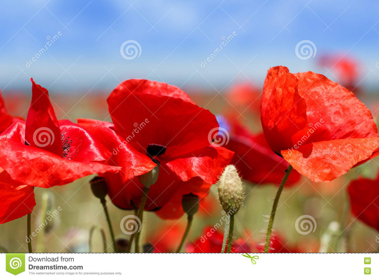 Red poppy flowers during summer stock image image of brightly red poppy flowers during summer mightylinksfo