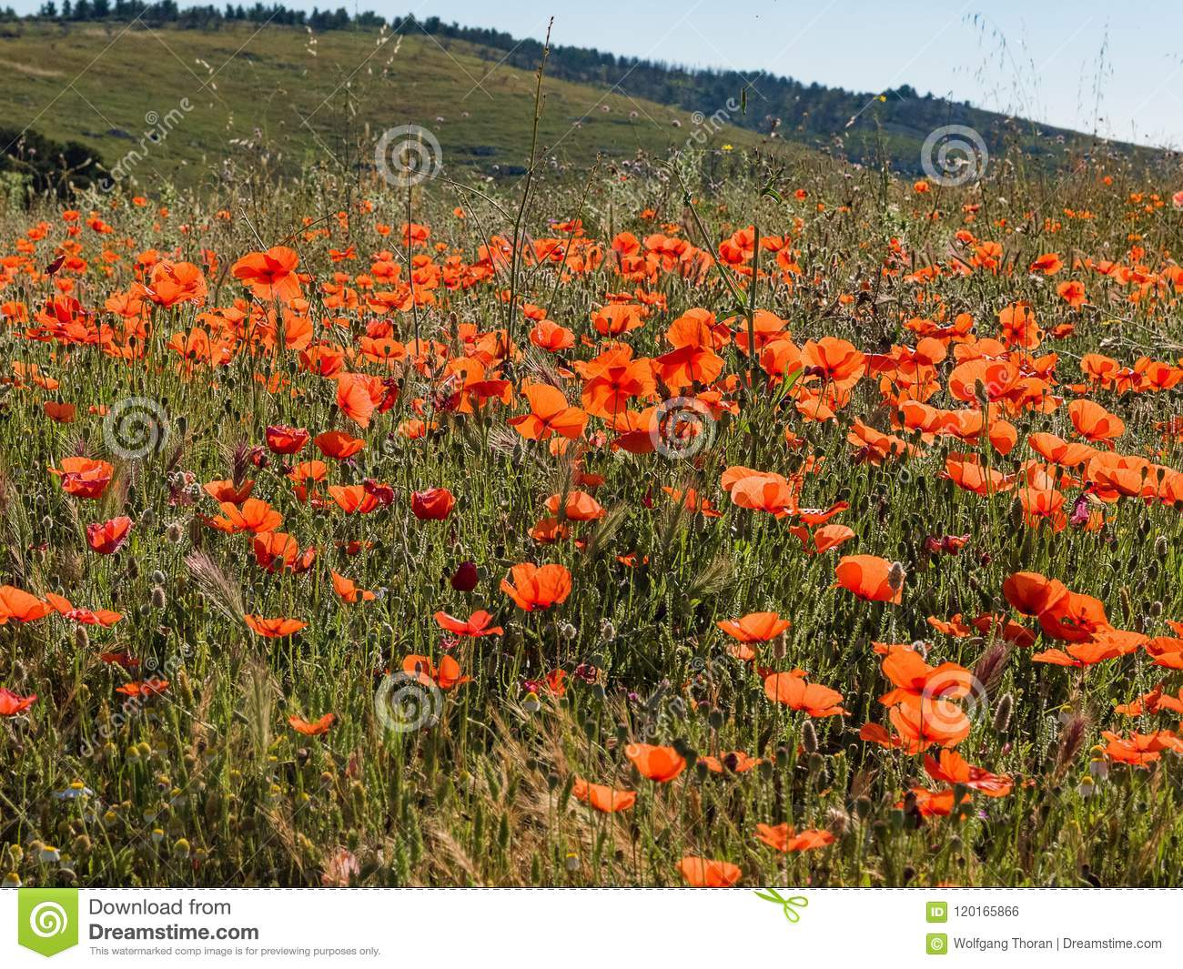 Red poppy meadow stock photo image of also continued 120165866 french countryside painted in red early summer has arrived and the countryside in provence is donning its red dress its a symphony in red poppies are mightylinksfo