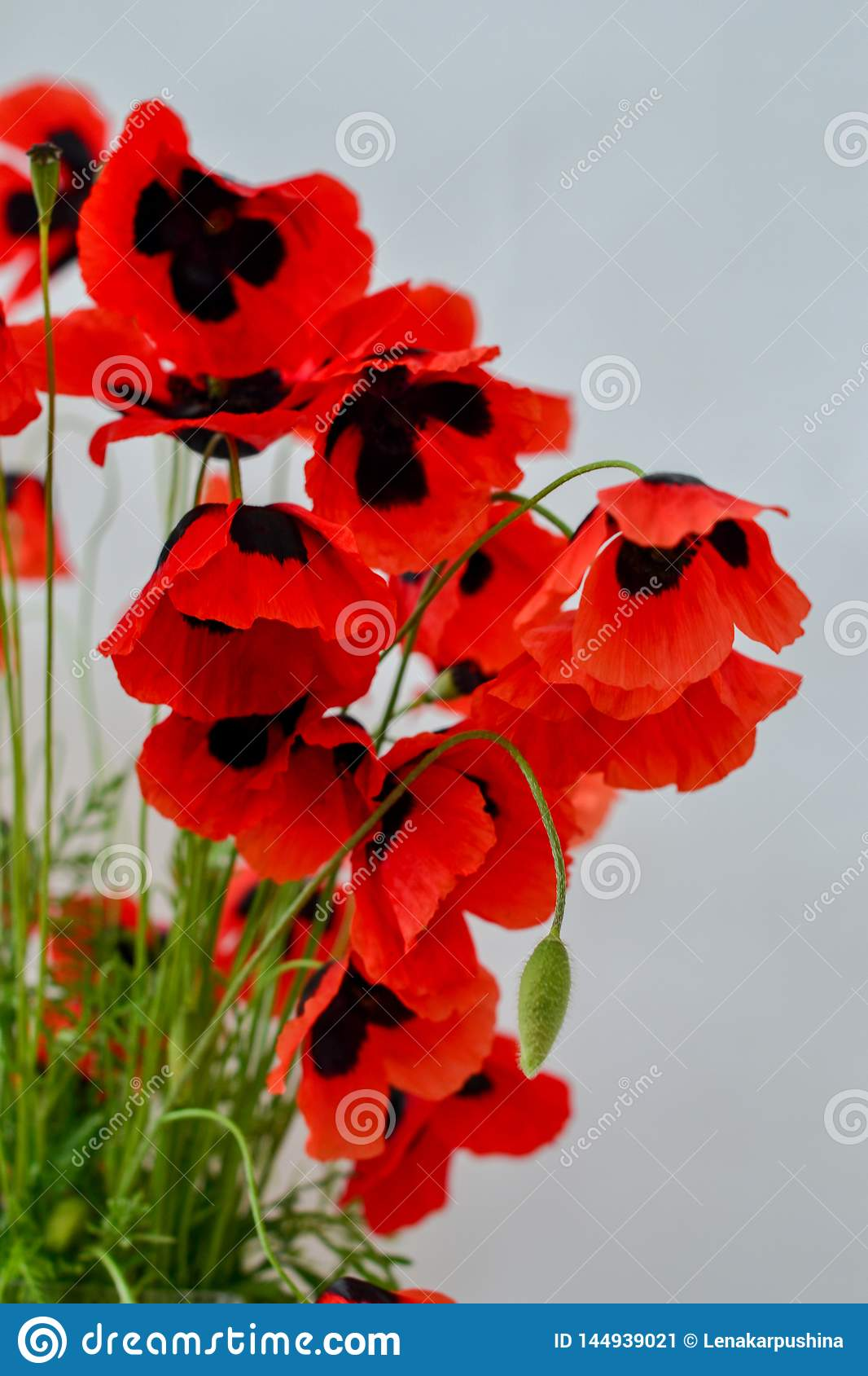 red poppy on a white background