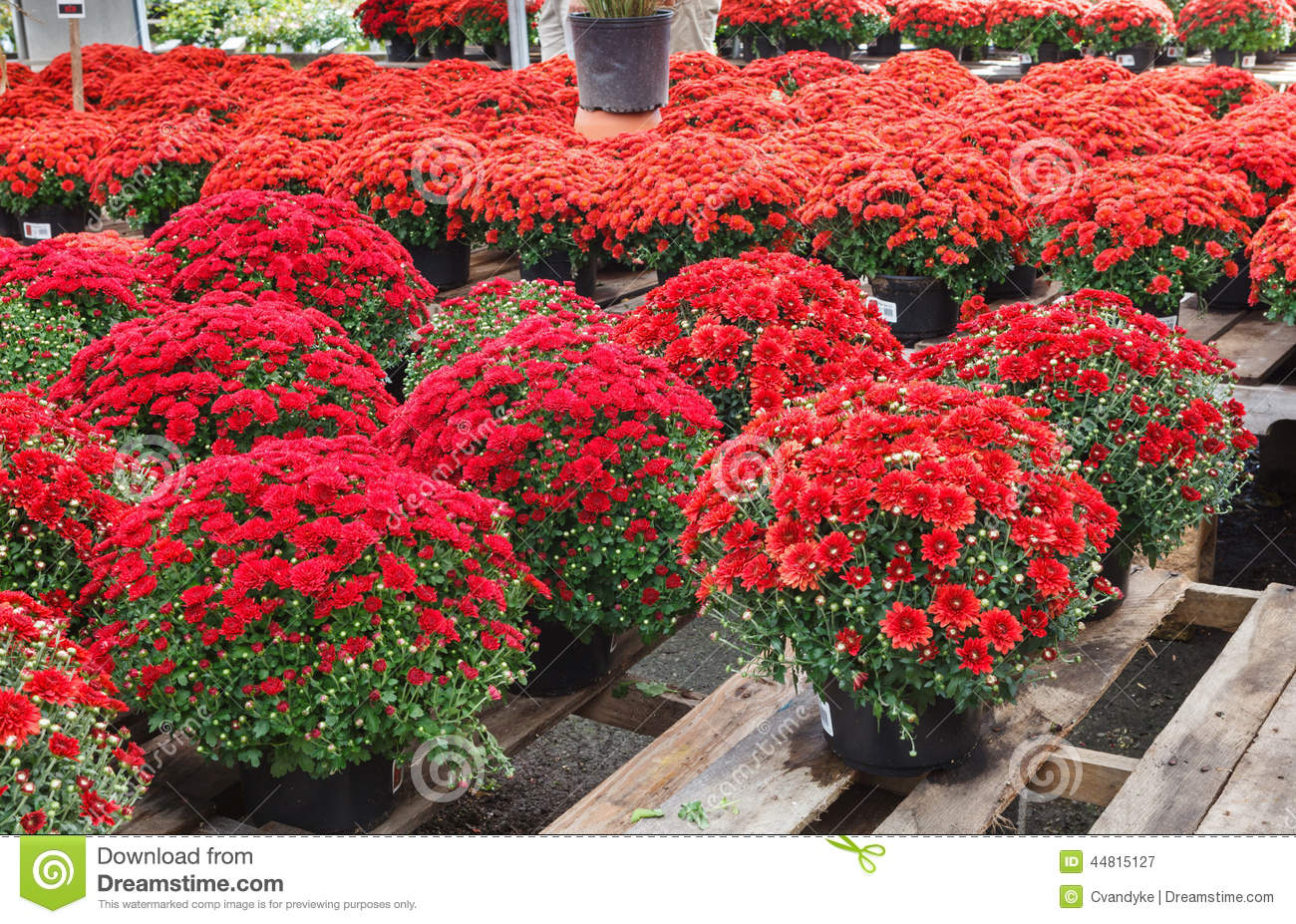 Red potted chrysanthemum flowers autumn display stock photo image 44815127 - Potted autumn flowers ...