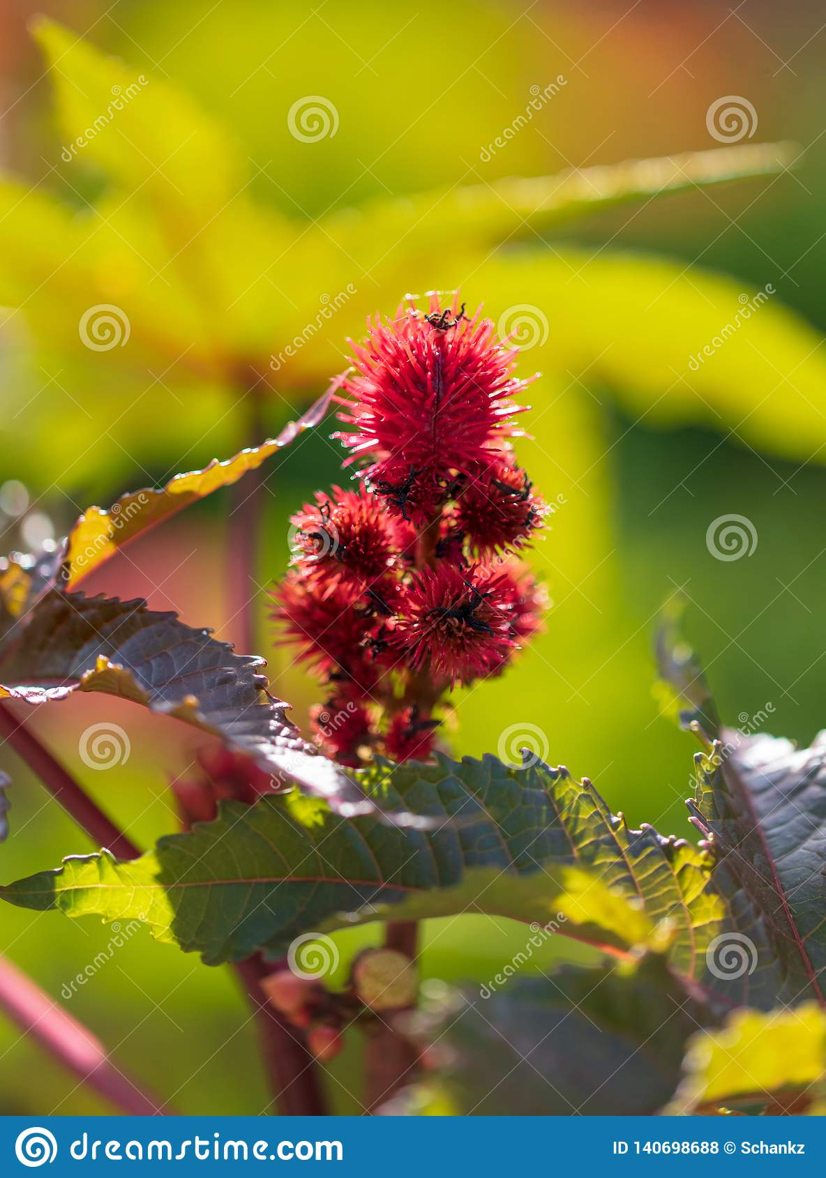 Red prickly fruits on the plant