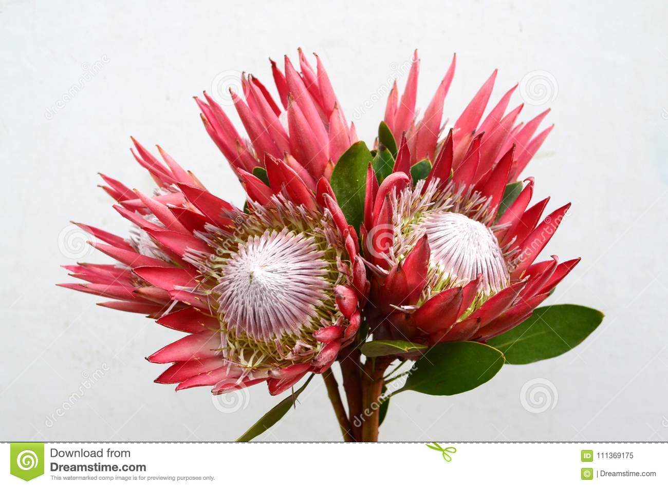 Red Protea Pink Ice Flower On White Background Stock Image Image