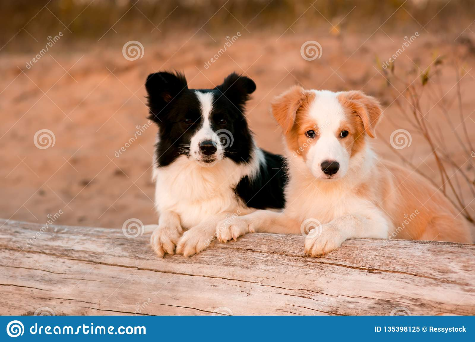Red Puppy Border Collie And Black And White Dog At The Beach On Tree Sunset Stock Image Image Of Holiday Motion 135398125