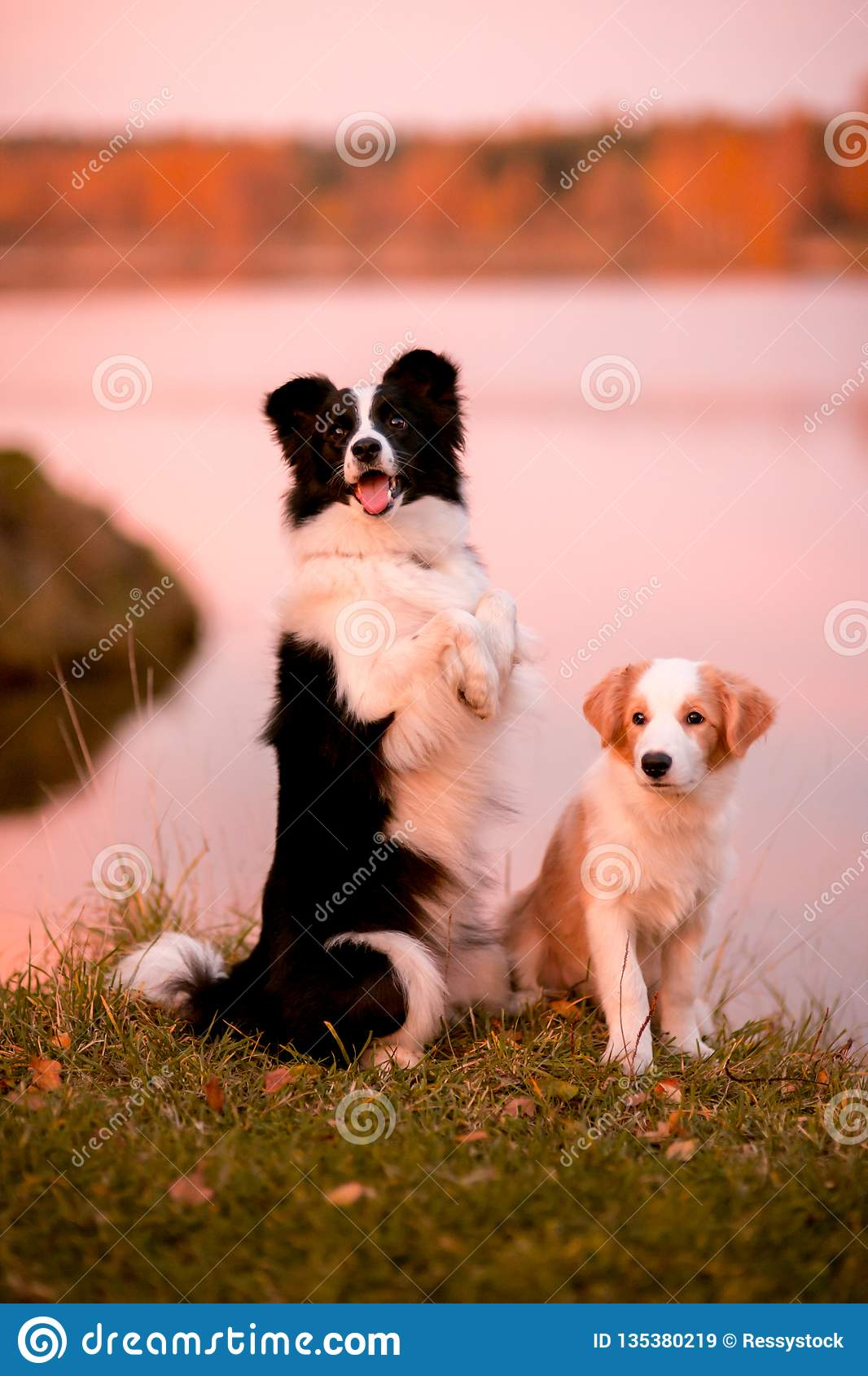 Red puppy Border collie and black and white dog on grass. sunset. forest and lake on background