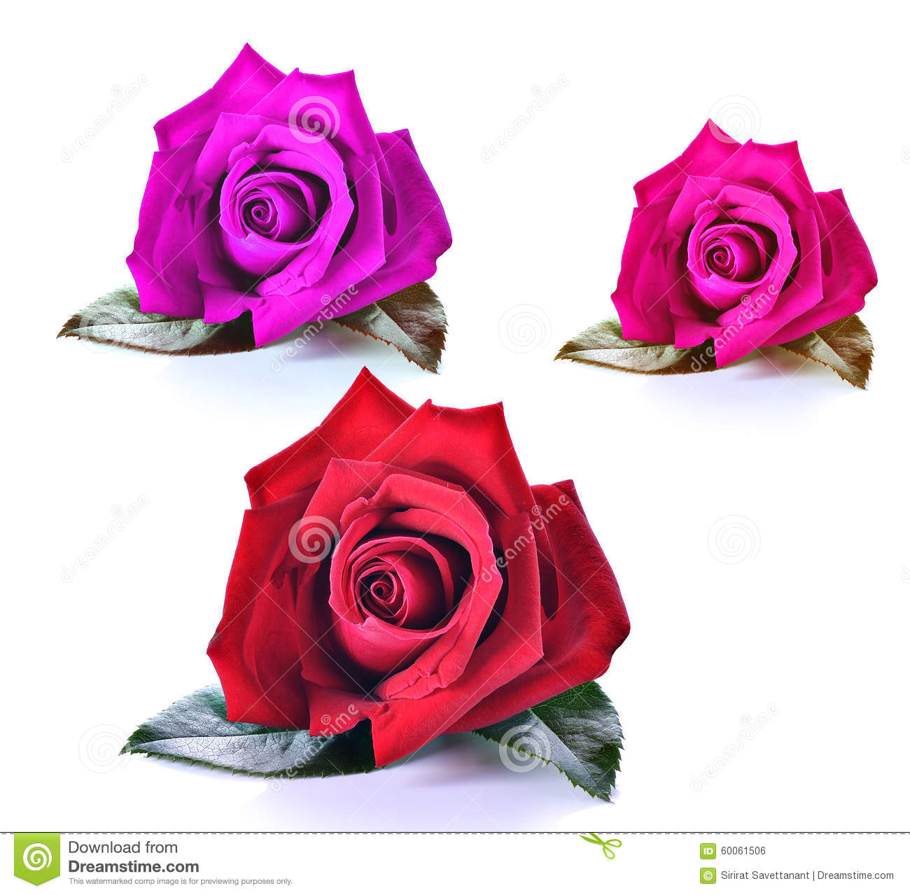 Red; Purple;Pink Rose Isolated Stock Photo - Image of background ...