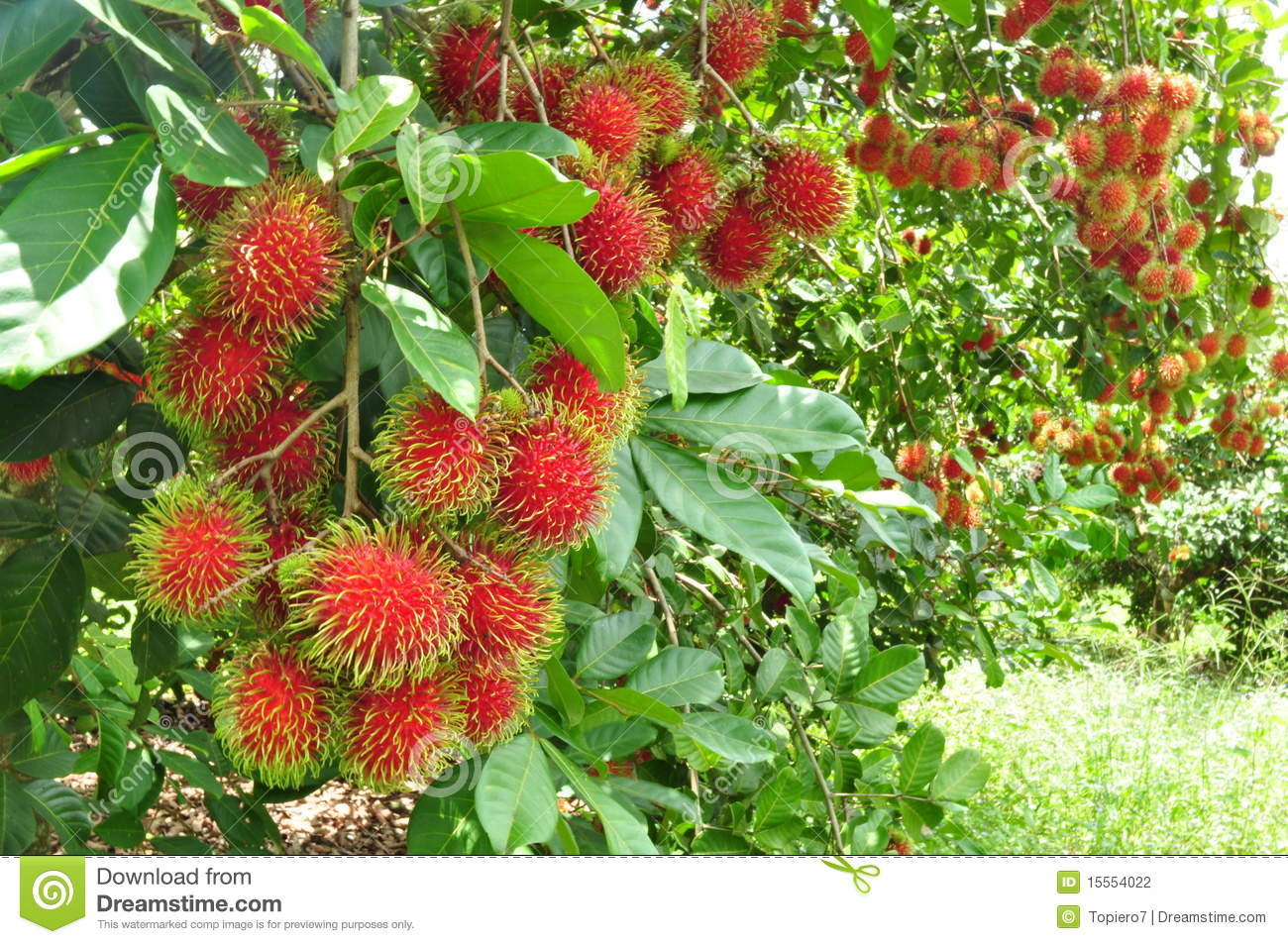 Rambutan Tree Leaf