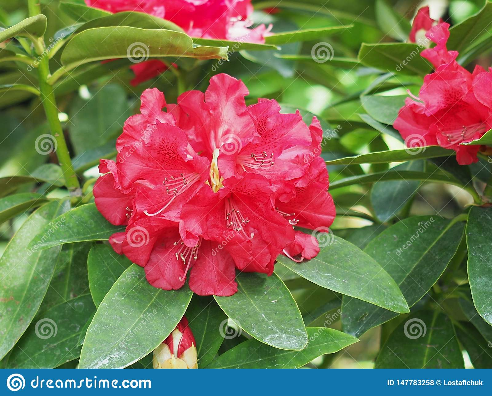 Red Rhododendron In Bloom In Late Spring