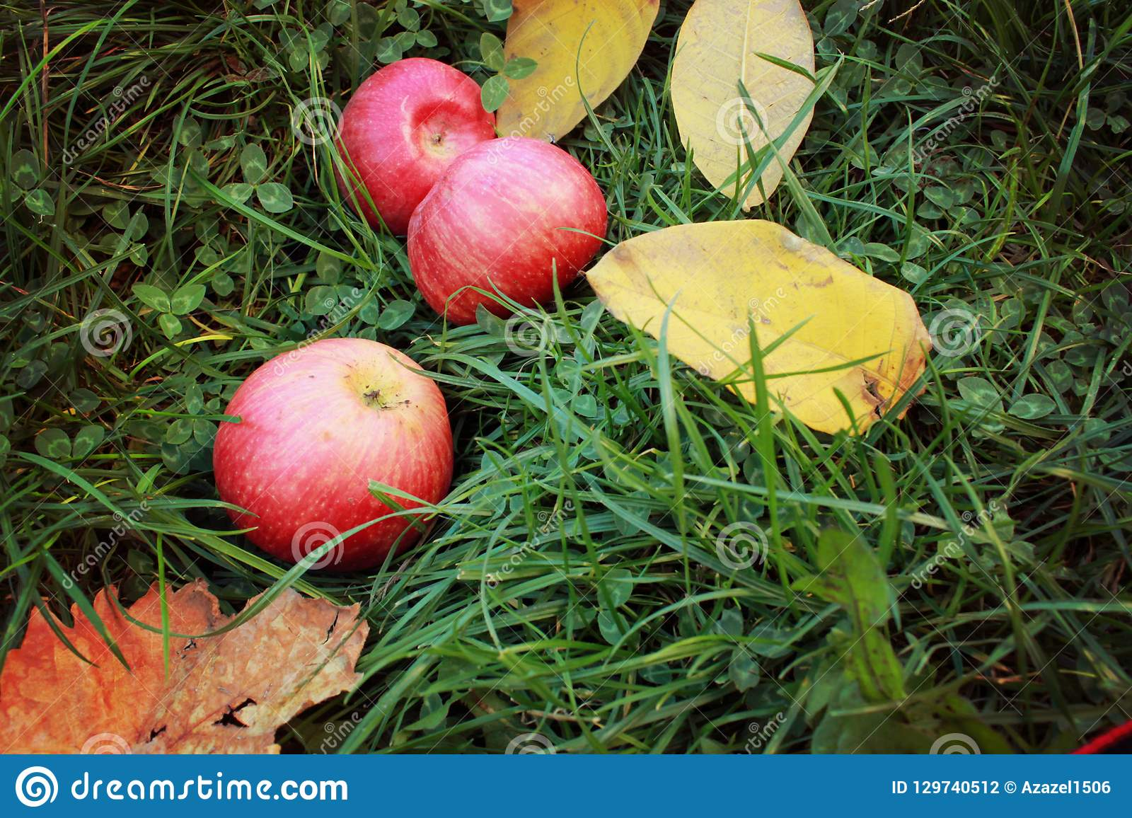 Red ripe apples on green grass, ripe fruits and yellow autumn leaves