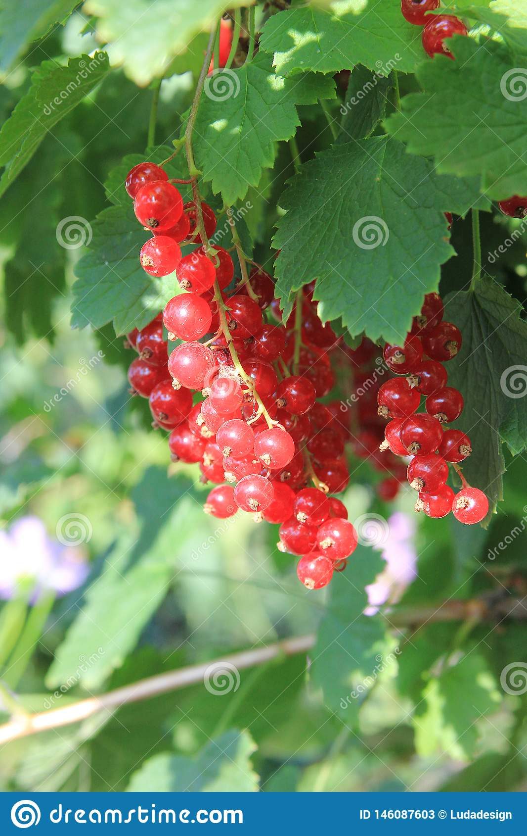 A red ripe currant on the green leaves background at the sunny day. Berries on the bush in the summer garden