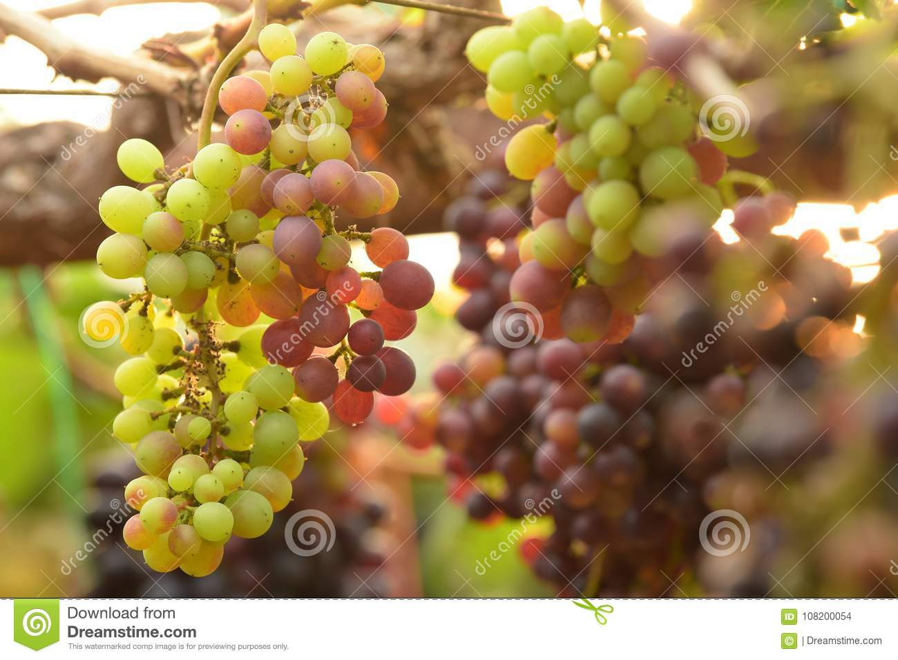Red ripe grapes stock photo. Image of farm, plant, beauty - 108200054