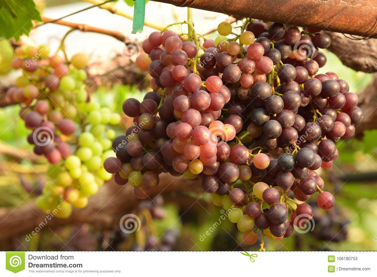 Red ripe grapes stock image. Image of beauty, growth - 106180753
