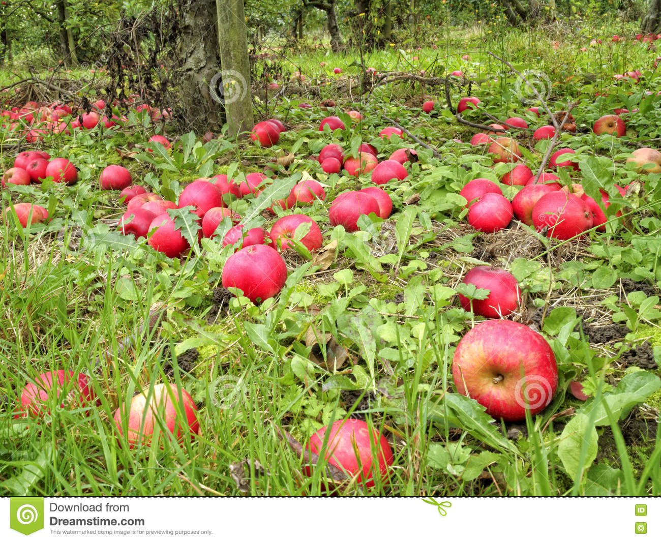 Red ripe and rotten apples under the tree in English orchard