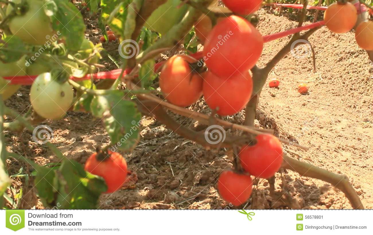 Red ripe tomato garden stock video. Image of gather, holding - 56578801