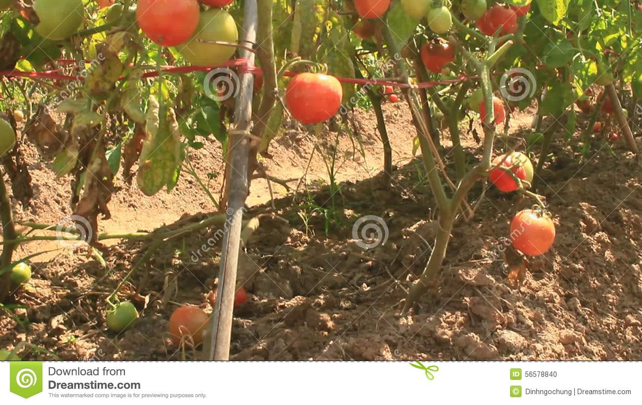 Red ripe tomato garden stock footage. Image of green - 56578840