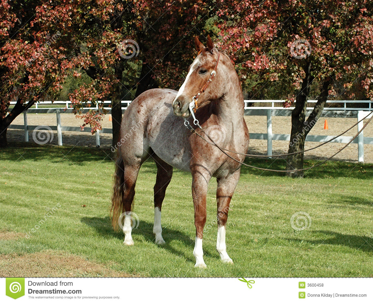 Strawberry roan quarter horse stallion